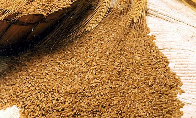 Семена озимой пшеницы Краснодарская 99, Морозко, Сила, Юка, Гром и др.