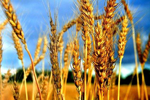 Семена озимой пшеницы и ячменя урожая 2016