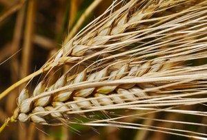 Семена озимого ячменя сорта Рубеж, Стратег