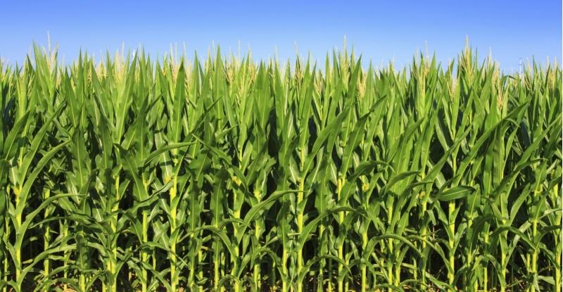Семена кукурузы  под посев 2021г.